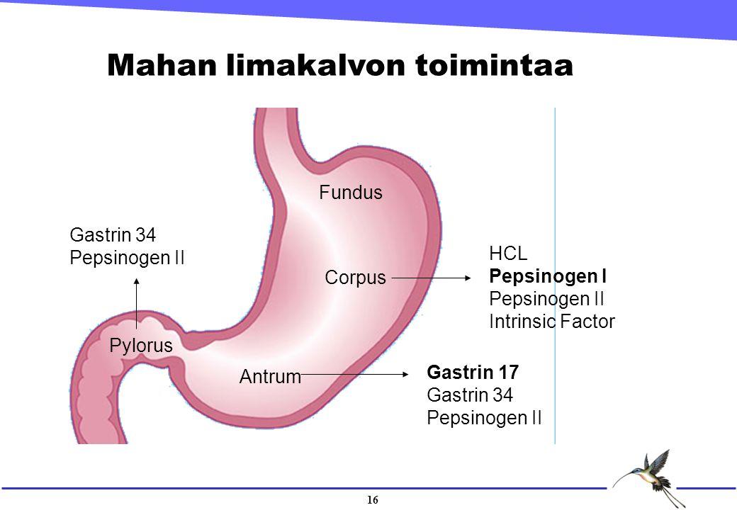 16 Mahan limakalvon toimintaa Fundus Corpus Antrum Pylorus Gastrin 17 Gastrin 34 Pepsinogen II Gastrin 34 Pepsinogen II HCL Pepsinogen I Pepsinogen II Intrinsic Factor