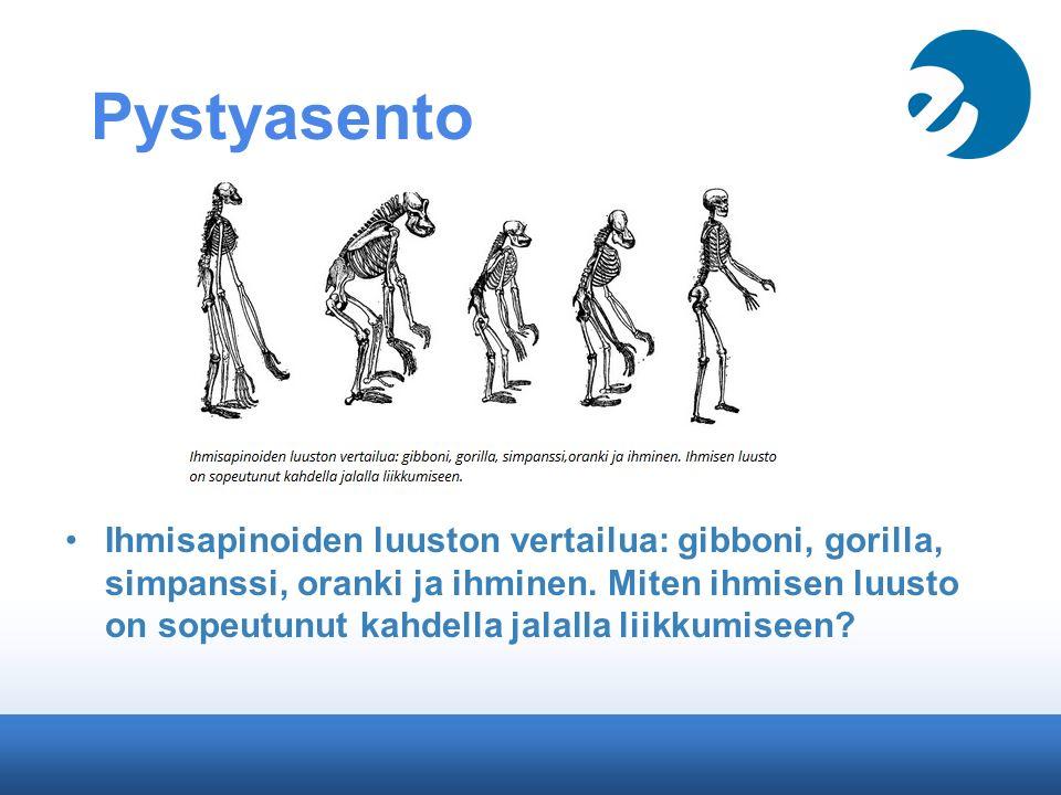 Pystyasento Ihmisapinoiden luuston vertailua: gibboni, gorilla, simpanssi, oranki ja ihminen.