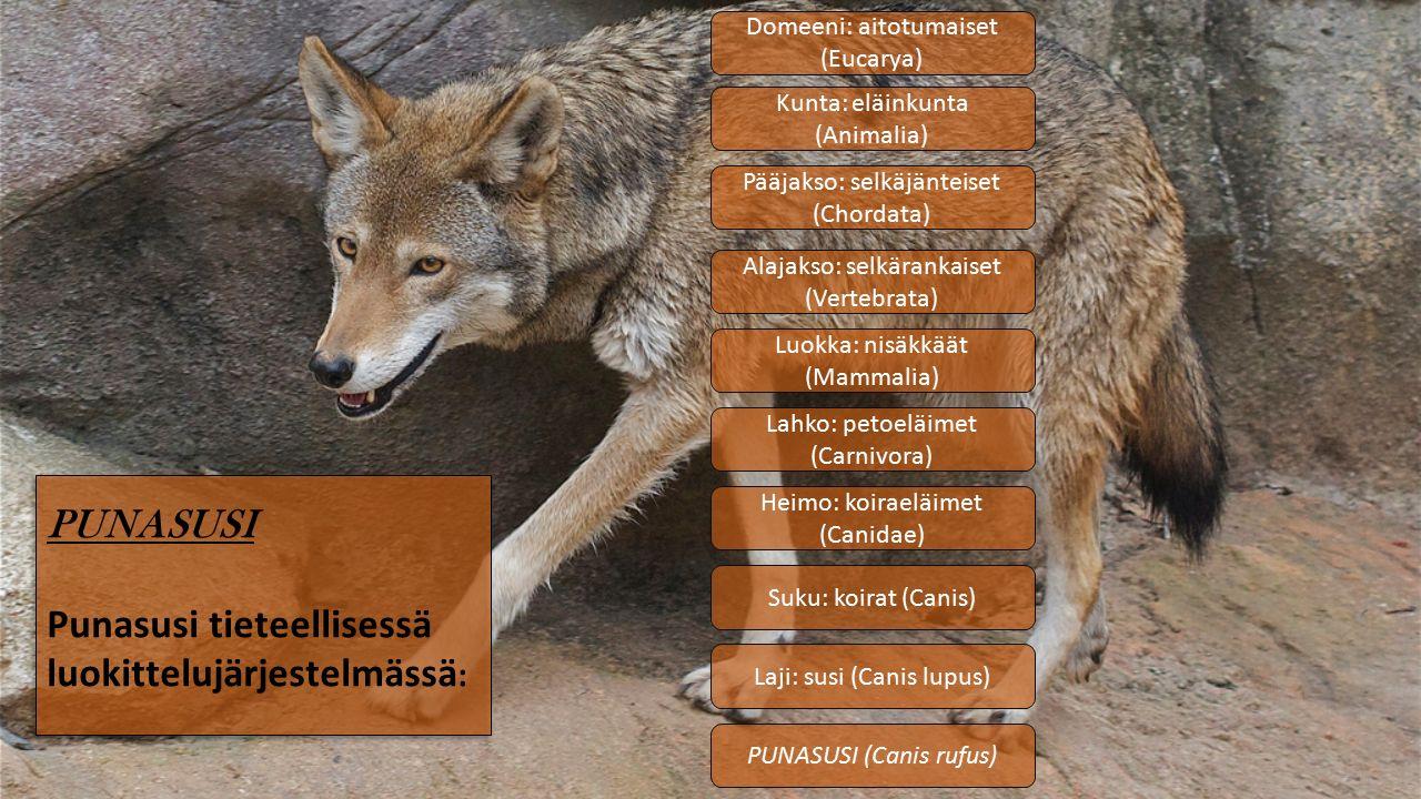 Kunta: eläinkunta (Animalia) Pääjakso: selkäjänteiset (Chordata) Luokka: nisäkkäät (Mammalia) Lahko: petoeläimet (Carnivora) Heimo: koiraeläimet (Canidae) Suku: koirat (Canis) Laji: susi (Canis lupus) PUNASUSI (Canis rufus) PUNASUSI Punasusi tieteellisessä luokittelujärjestelmässä : Domeeni: aitotumaiset (Eucarya) Alajakso: selkärankaiset (Vertebrata)