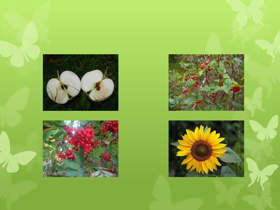 Koppisiemeniset eli kukkakasvit  Kasvikunnan nykyinen valtiasryhmä  Siemenaiheet ovat kukan emin sikiäimen sisällä kopissa  Risti- tai itsepölytys  Kaksoishedelmöitys