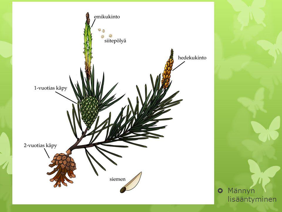 Paljassiemeniset  Ensimmäisiä maaelämään hyvin sopeutuneita kasveja  Havupuut(600-lajia) ja käpypalmut(130- lajia)  Siemenet kehittyvät paljaaltaan emilehtien pinnalla