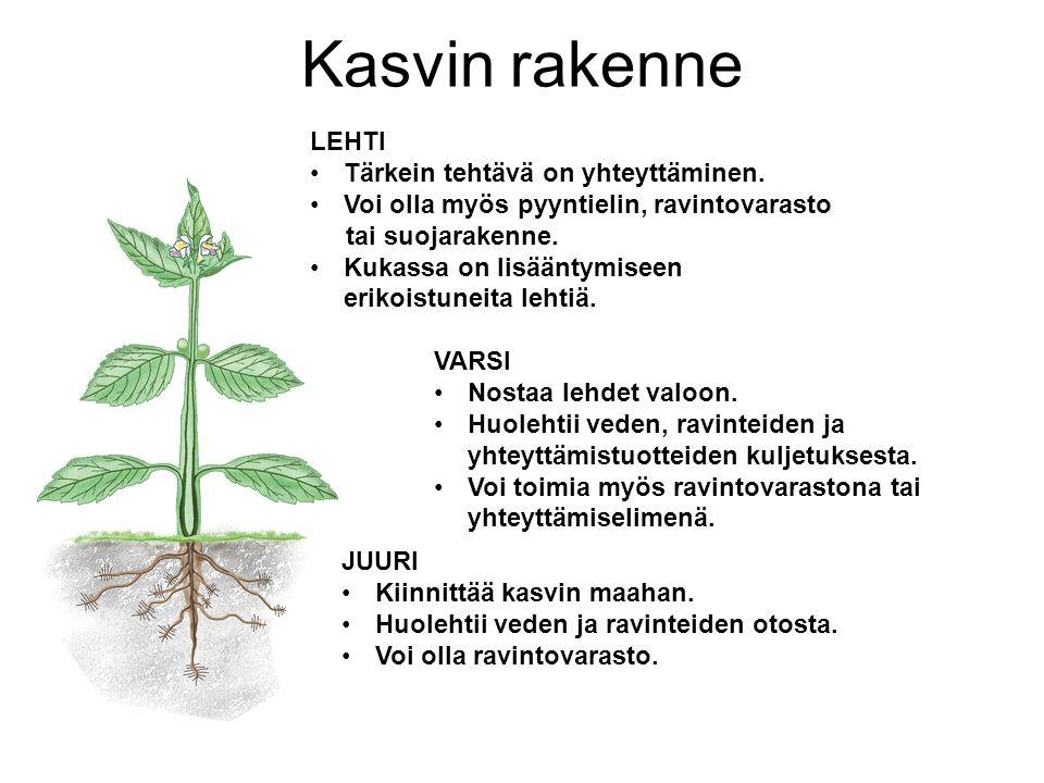 Kasvin rakenne LEHTI Tärkein tehtävä on yhteyttäminen.