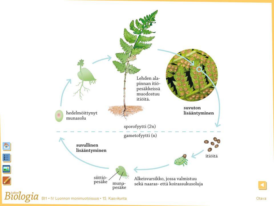 BI1 IV Luonnon monimuotoisuus 15. KasvikuntaOtava Saniainen