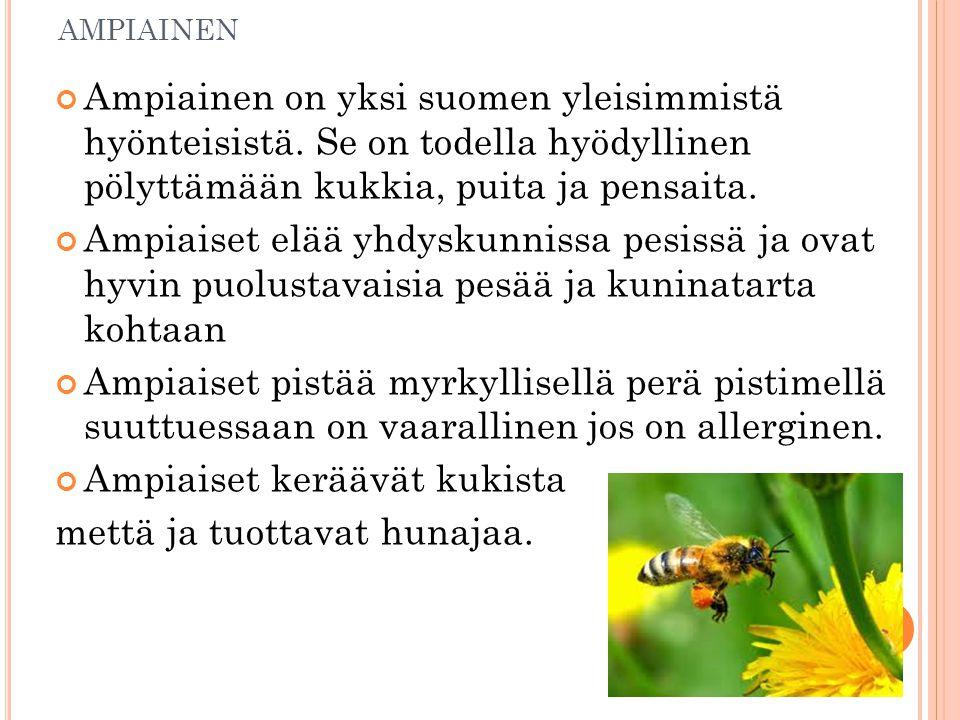AMPIAINEN Ampiainen on yksi suomen yleisimmistä hyönteisistä.