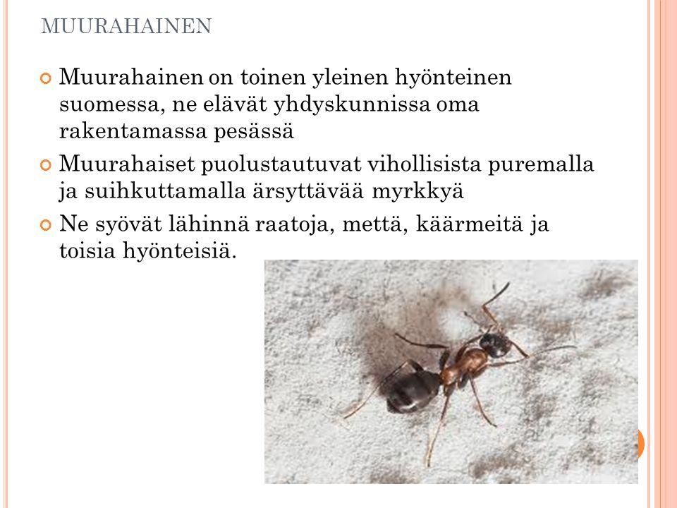 MUURAHAINEN Muurahainen on toinen yleinen hyönteinen suomessa, ne elävät yhdyskunnissa oma rakentamassa pesässä Muurahaiset puolustautuvat vihollisista puremalla ja suihkuttamalla ärsyttävää myrkkyä Ne syövät lähinnä raatoja, mettä, käärmeitä ja toisia hyönteisiä.