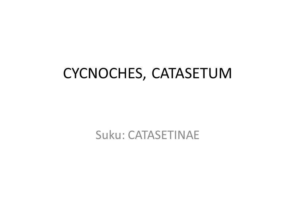 CYCNOCHES, CATASETUM Suku: CATASETINAE