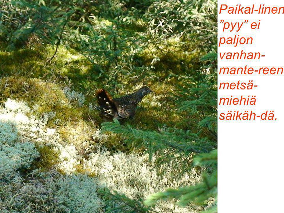 Paikal-linen pyy ei paljon vanhan- mante-reen metsä- miehiä säikäh-dä.